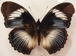 moths and butterflies stock132