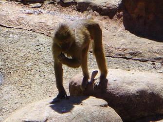 zoo stock primates 1