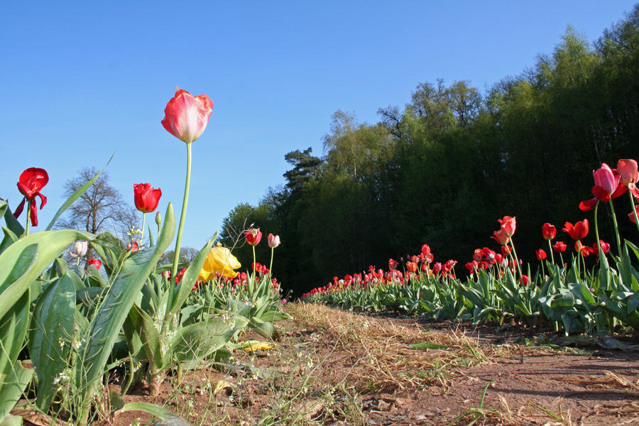 Tulips Path 05 by CD-STOCK by CD-STOCK