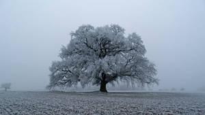 Frozen Oak Premium CD-STOCK