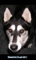 Husky - Rena - Picture 1