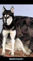 Husky - Rena - Picture 2