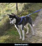 Husky - Rena - Picture 3