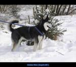 Husky - Rena - 15