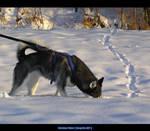 Husky - Rena - 32