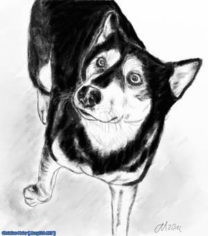 Siberian Husky - Rena