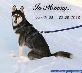 Husky - Rena - In Memory - year 2005 - 3. Sep.2018