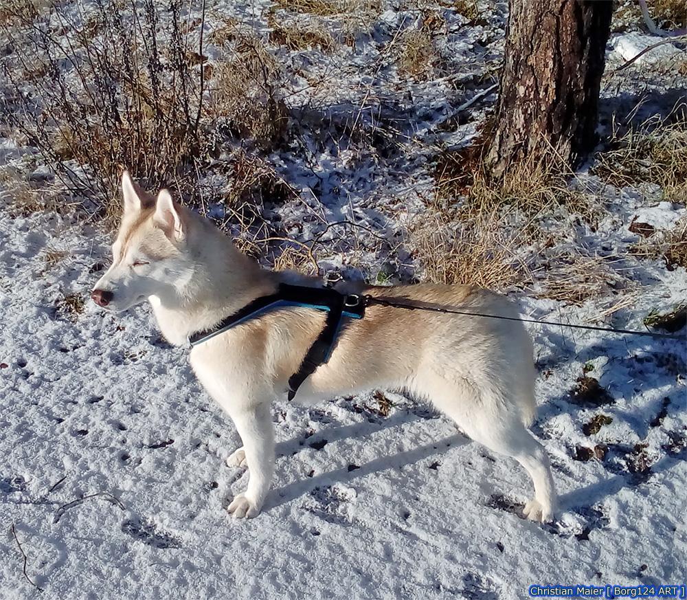 Husky - Zoey - 07