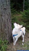 Husky - Zoey - 09