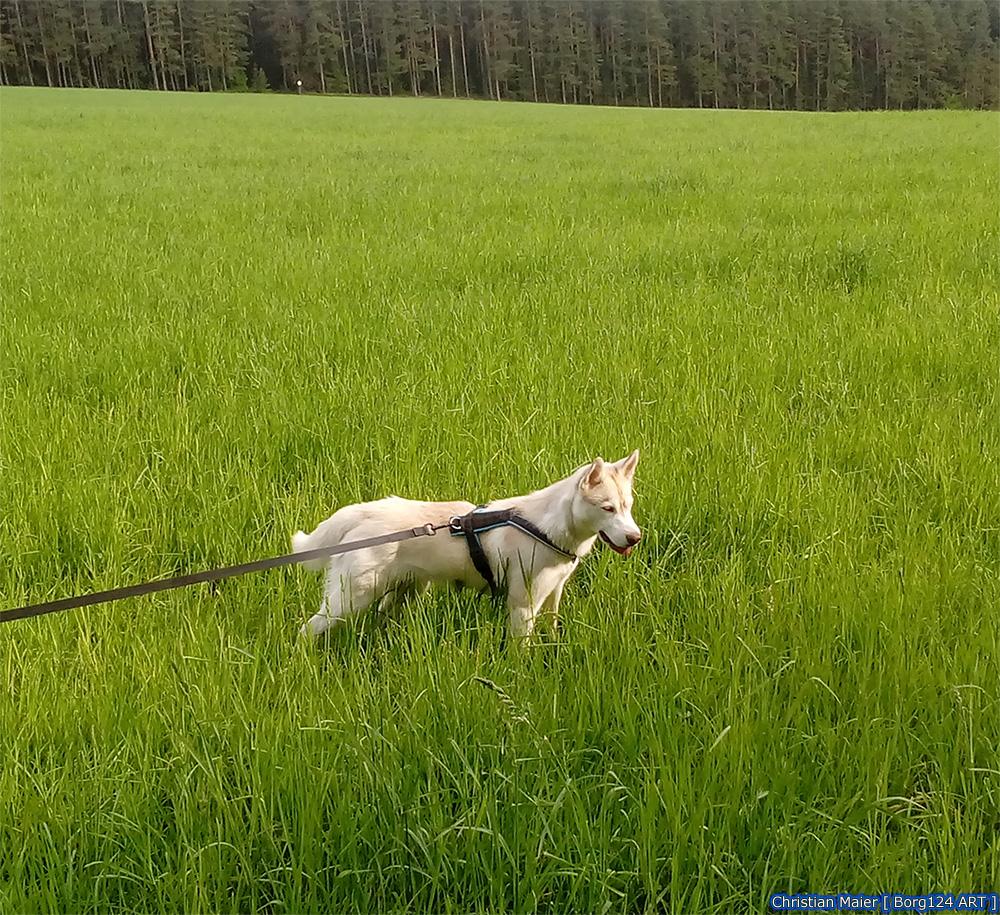 Husky - Zoey - 10