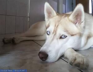 Husky - Zoey - 12