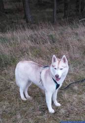 Husky - Zoey - 14