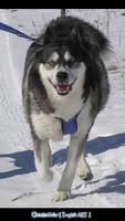 Husky Photo 4 - runs