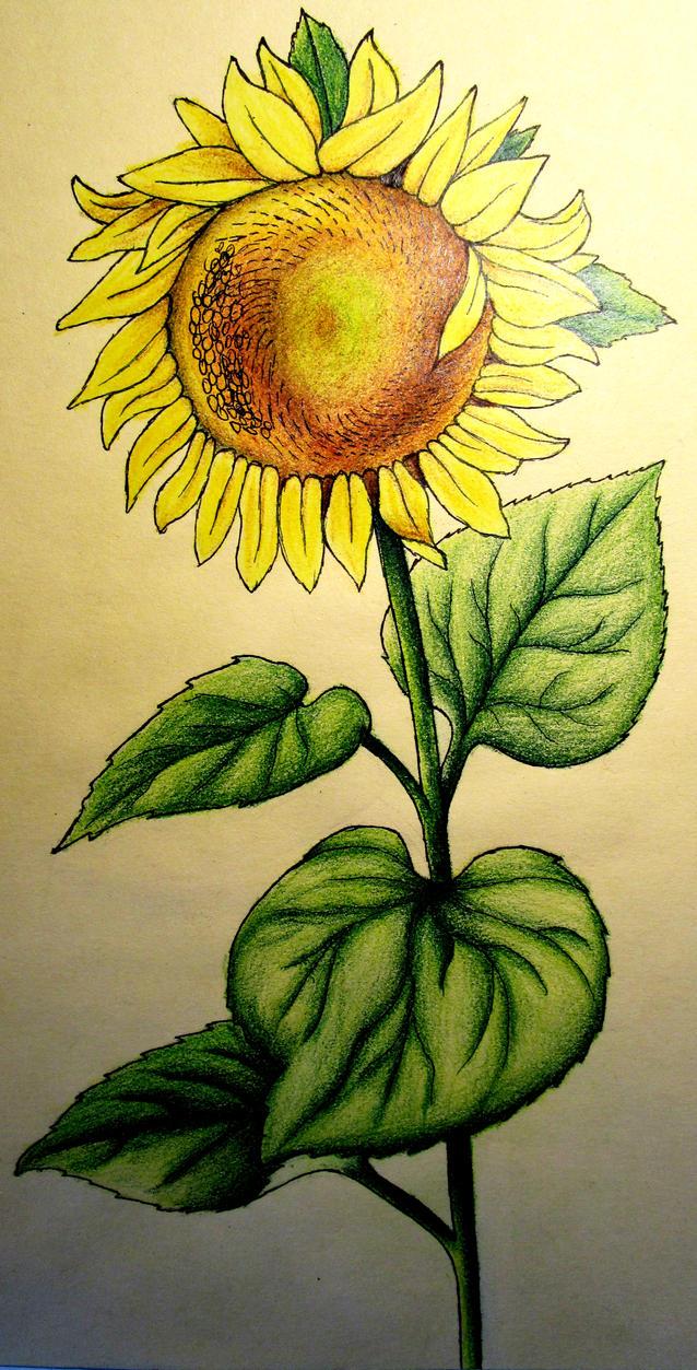 Sunflower by owlishwander