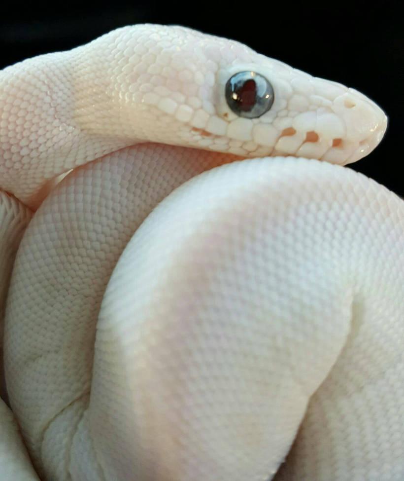 Falkor the Blue Eyed Leucistic