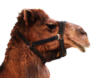 Camel PNG STOCK