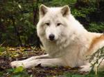 Arctic Wolf 7