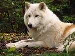Arctic Wolf 8