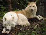 Arctic Wolves 2