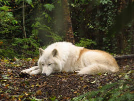Arctic Wolf 9