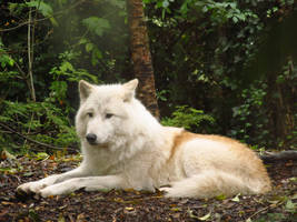 Arctic Wolf 10 by xCrystals