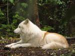 Arctic Wolf 11