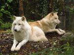Arctic Wolves 5