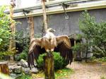 Griffon Vulture - Wings Stock