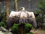 Griffon Vulture - Wings Stock2