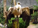 Griffon Vulture - Wings Stock4