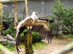 Griffon Vulture - Wings Stock5