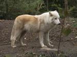 Arctic Wolf 15