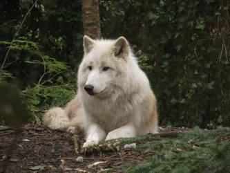 Arctic Wolf 16