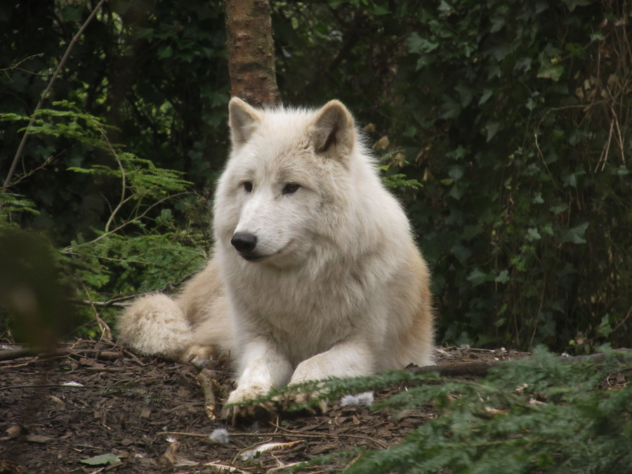 Arctic Wolf 16 by xCrystals