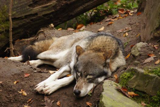 European Wolf 2