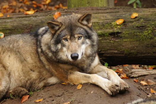 European Wolf 4