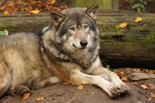 European Wolf 3