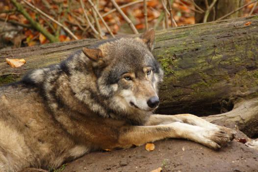European Wolf 7