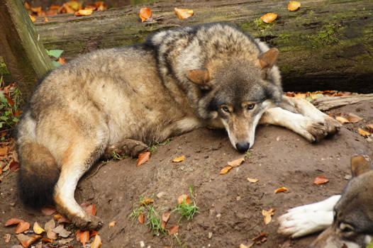 European Wolf 8