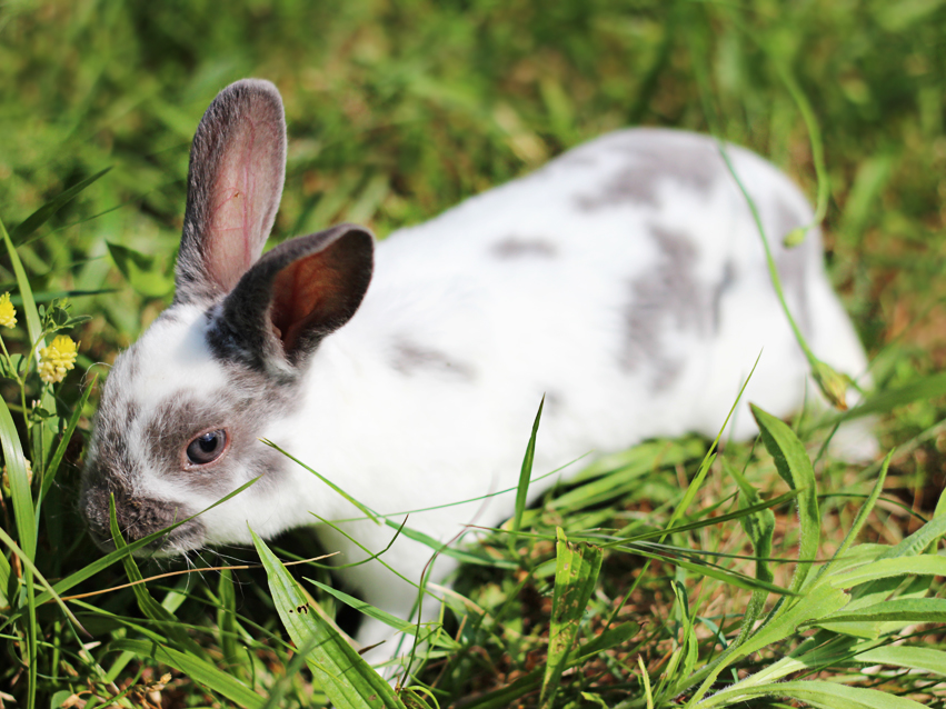 Broken Lilac Mini Rex Rabbit by ZombieBunnyRabbit on ...