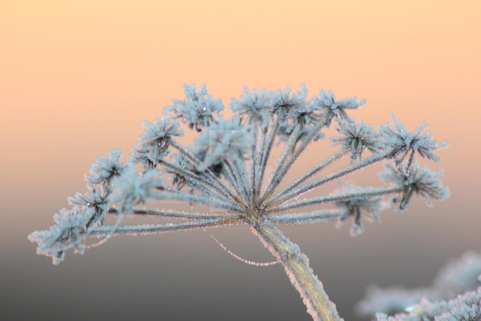 Frozen flower by harlia on DeviantArt