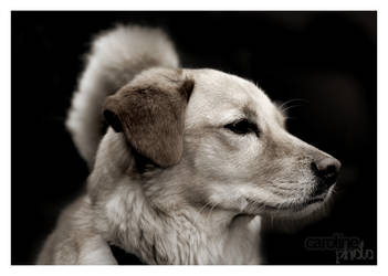 Classical Dog by caroline-photo