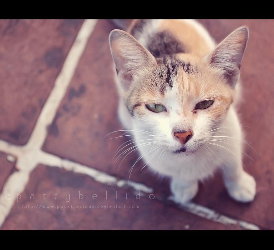 Stray cat I by pockylacious