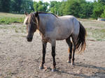 Standing Rocky Mountain Horse - Stock