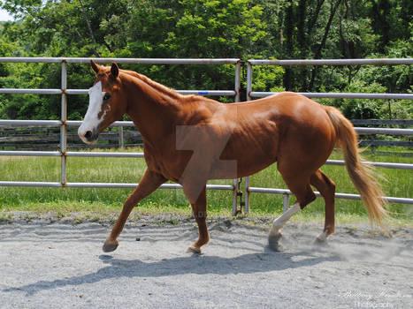 Paint Horse Turning Inwards - Stock