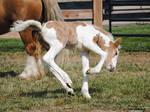 Bucking Gypsy Vanner Foal - Stock