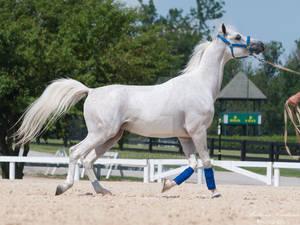 Trotting Gray Arabian - Stock