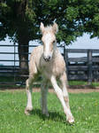 Running Gypsy Vanner Foal- Stock