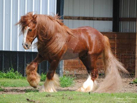 Prancing Gypsy Vanner Stallion - Stock