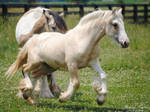 Cantering Gypsy Vanner Yearling - Stock